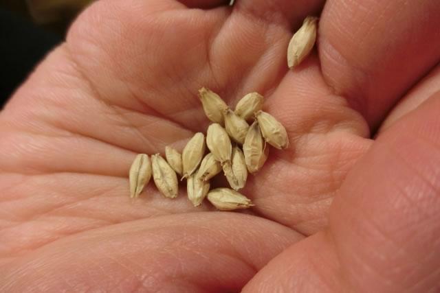 ビールの材料大麦麦芽